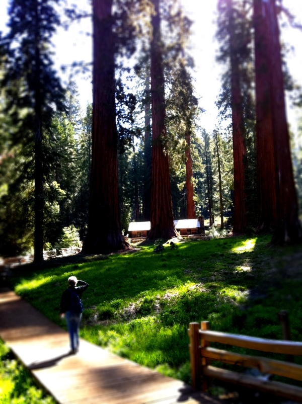 Giant Sequoias in Mariposa's Upper Grove
